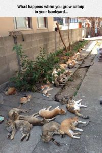 catnip alley